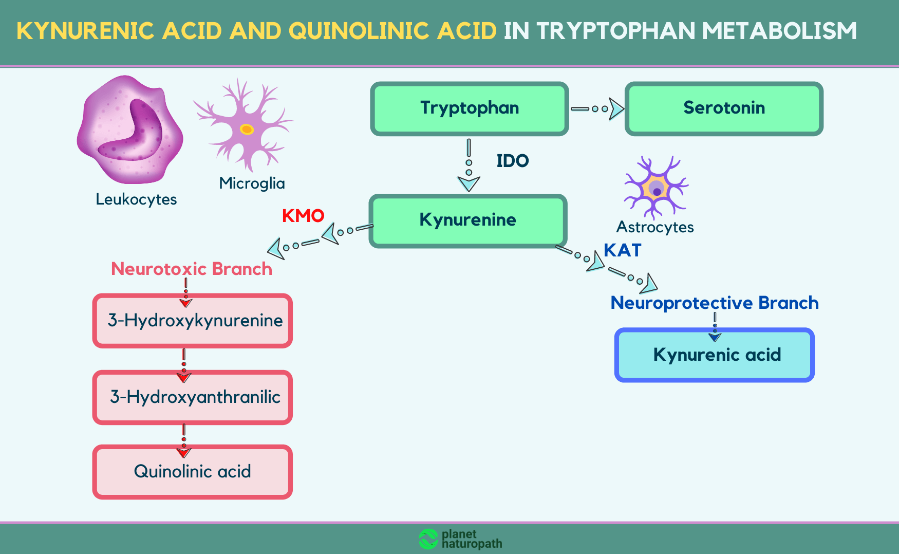Kynurenic-acid-and-quinolinic-acid-in-tryptophan-metabolism